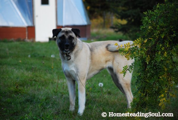 Anatolian shepherd on the farm