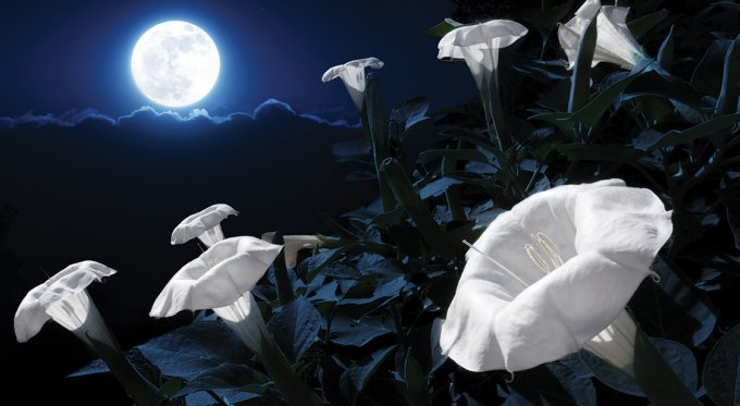 Plant a magical moon garden with flowers blooming at night most people are not aware that you can grow plants and flowers that bloom at night many night blooming plants are white and give a luminous appearance in mightylinksfo