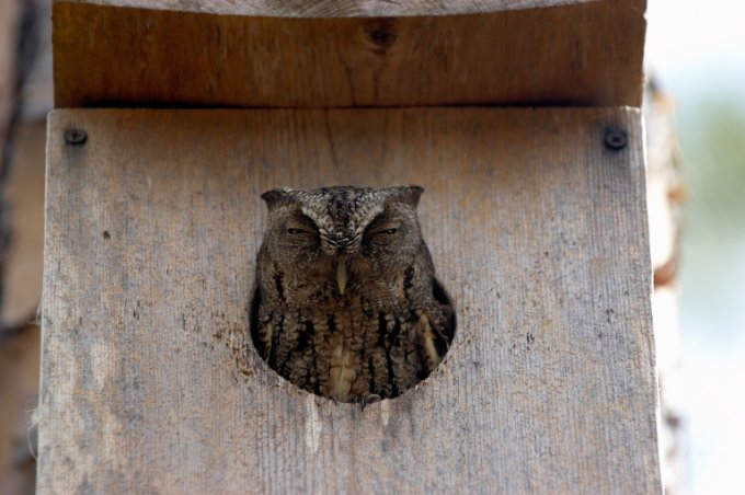 Owl in a nest box